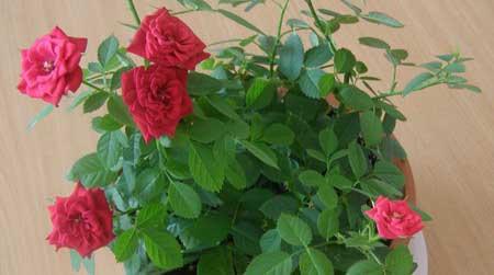На фото комнатная мини роза, выращенной из черенка.